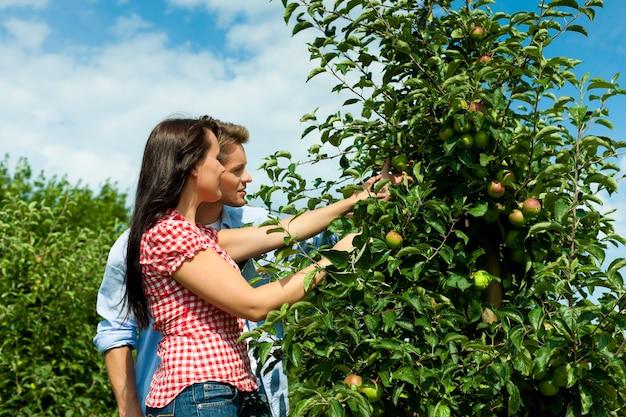 Casal sorridente colhendo uma macieira