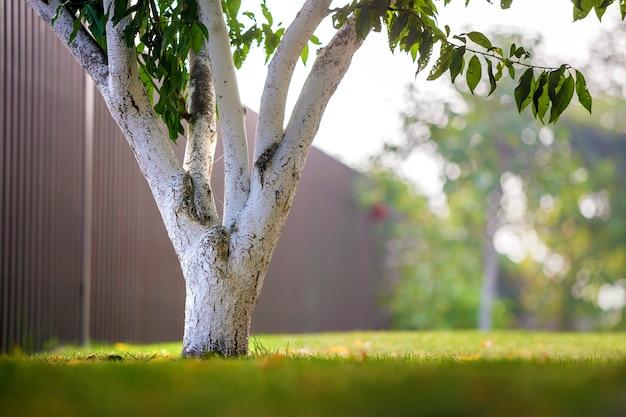 Casca caiada de árvore que cresce no jardim ensolarado do pomar no fundo verde borrado do espaço da cópia.