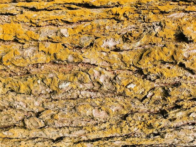 Casca de árvore, close-up do tronco. a textura dourada da velha casca de árvore.