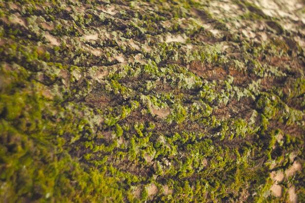 Casca de árvore com musgo. textura de madeira