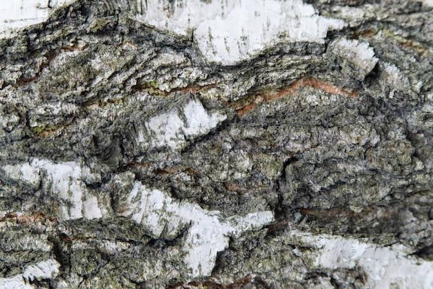 Casca de árvore de bétula fechar textura