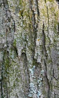 Casca de árvore, fundo bonito na floresta de verão.
