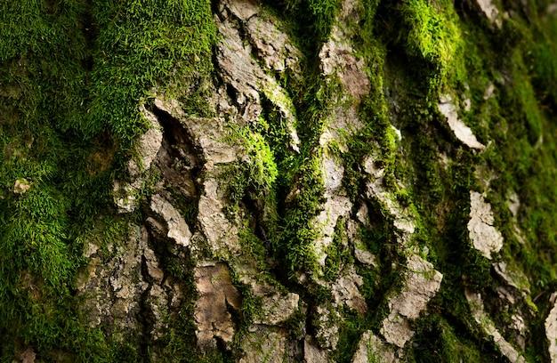 Casca de árvore velha com musgo verde