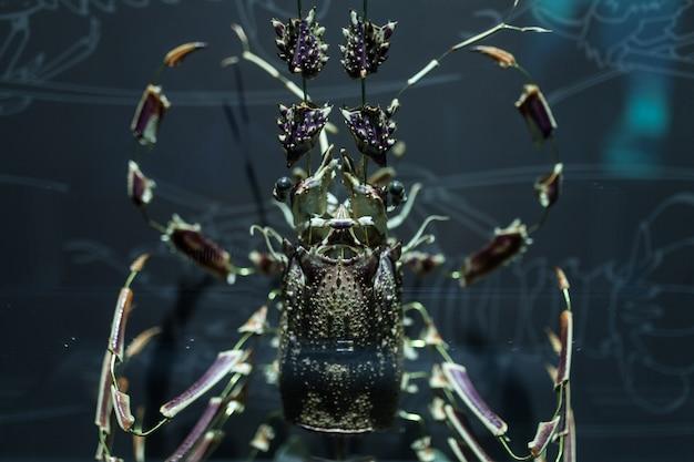 Casca de lagosta desmantelada em pedaços