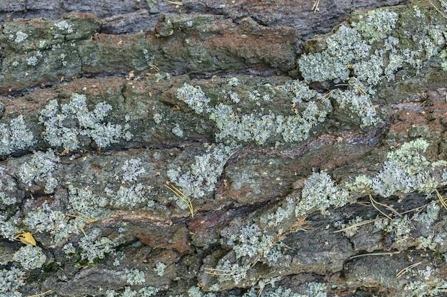 Casca de pinheiro velho com textura de líquen