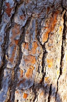 Casca de textura de tronco de pinheiro