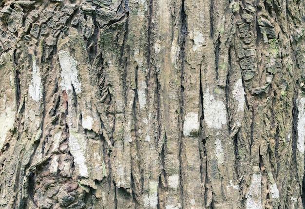 Casca de um grande fundo de árvore