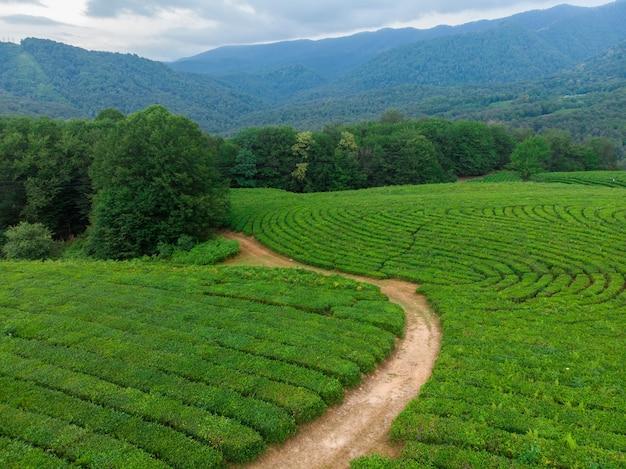 Cascatas verdes de plantações de chá no alto das montanhas. arbustos de chá verde em uma fazenda em sochi