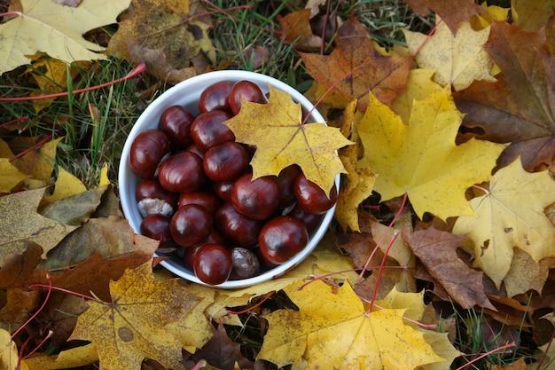 Castanha da índia em folhas coloridas de árvore no outono