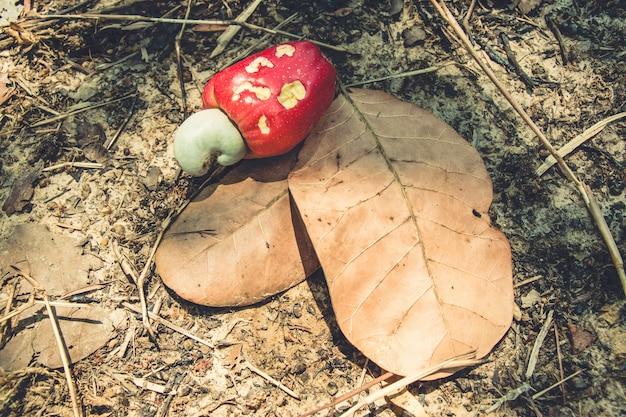 Castanha de caju vermelha cai no chão do solo