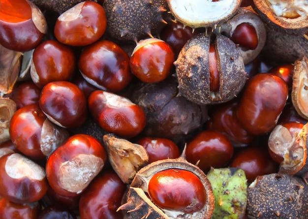 Castanhas-da-índia ou aesculus hippocastanum close-up.