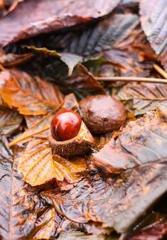 Castanhas-da-índia ou aesculus hippocastanum nas folhas marrons molhadas no parque do outono.