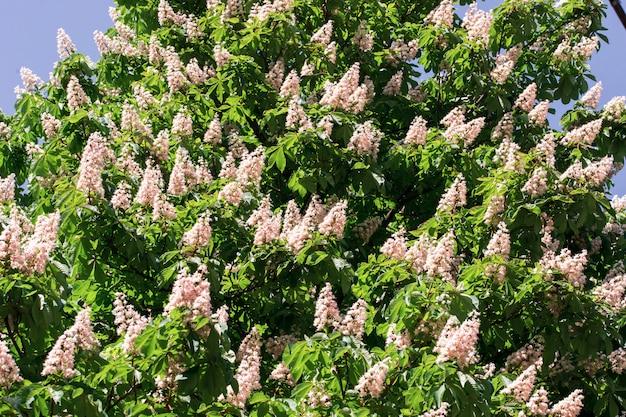 Castanhas de vela florescendo na primavera
