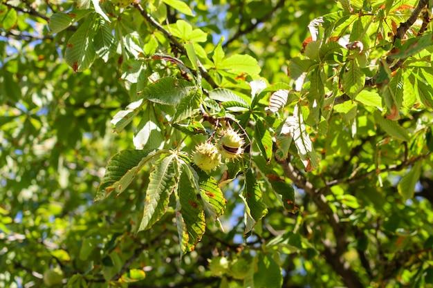 Castanhas espinhosas de outono penduram em uma árvore