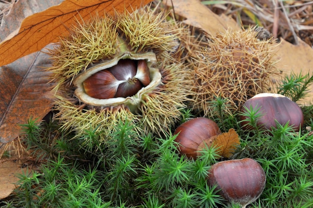 Castanhas no solo da floresta em musgo e folha
