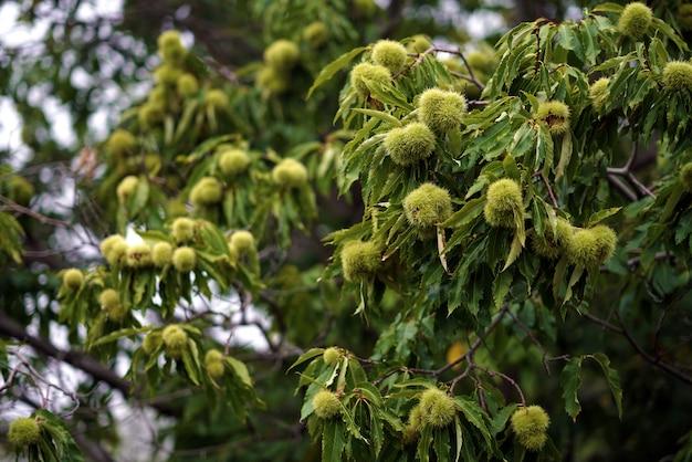 Castanhas penduradas na árvore