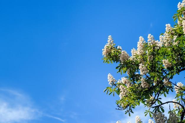 Castanheiro com flores da primavera florescendo contra o céu azul, fundo floral sazonal
