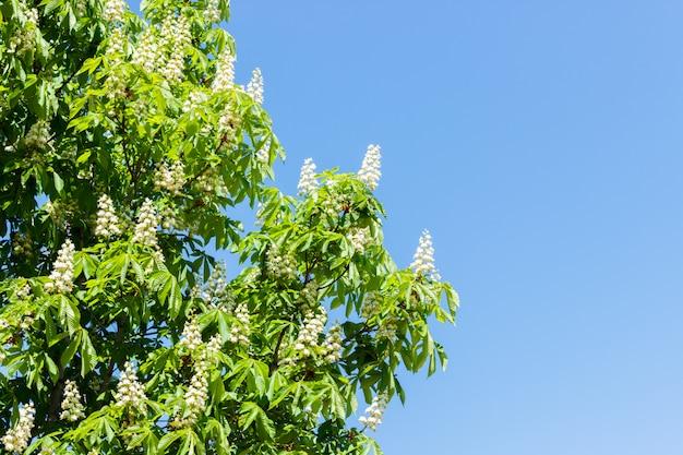 Castanheiro com flores desabrochando primavera contra o céu azul
