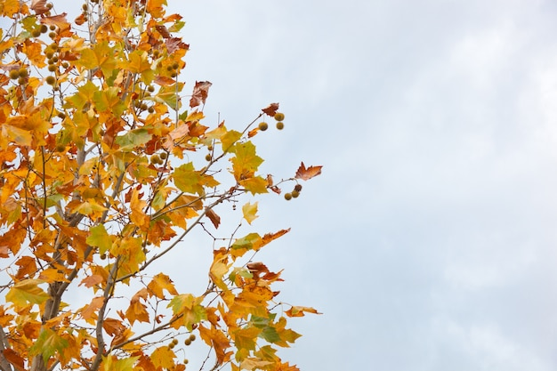 Castanheiro no outono com folhas secas