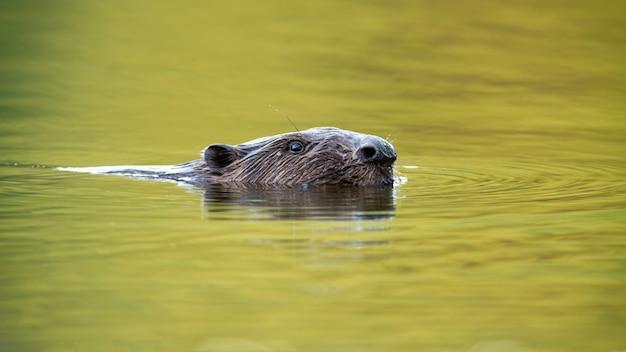 Castor da eurásia nadando com o fluxo do rio