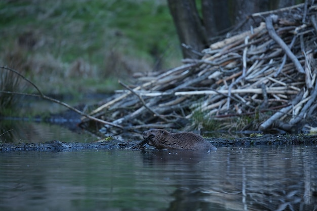Castor europeu selvagem no belo habitat natural na república checa