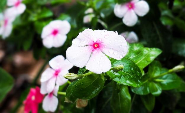 Catharanthus roseus, madagascar periwinkle, flores brancas e gotas de chuva em um jardim refrescante