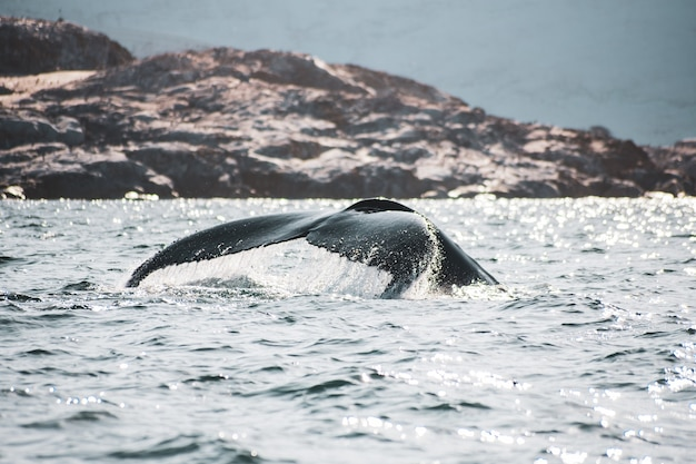 Cauda de baleia na ilha petermann, antártica