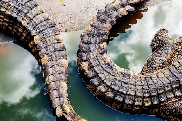 Cauda de crocodilo com textura.