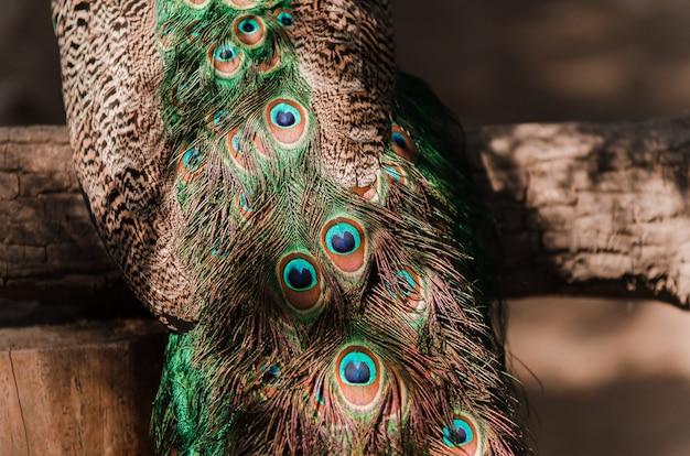 Cauda de um pavão azul. pavão de penas na luz do sol