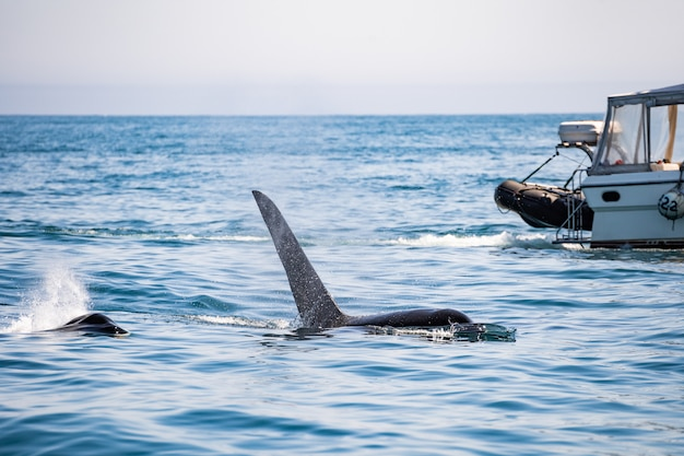Cauda de uma baleia jubarte na frente de um barco a vela perto de tofino, ilha de vancouver, colúmbia britânica