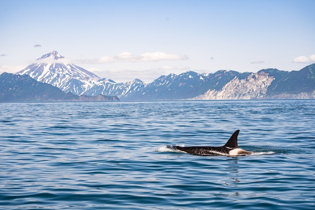 Cauda de uma baleia jubarte na frente de um barco a vela