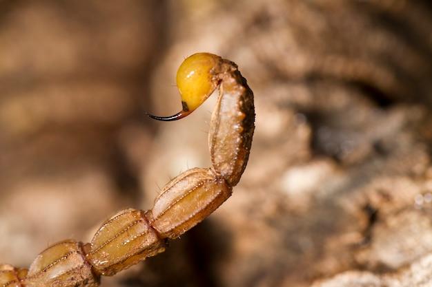 Cauda escorpião buthus