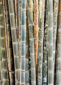 Caule de bambu fresco