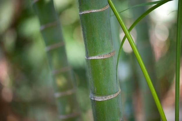 Caules de bambu tropical verde selva