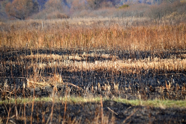 Caules de grama seca no dia de campo queimado