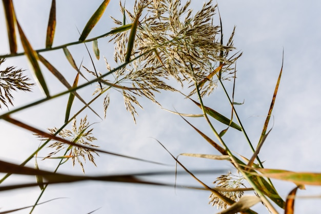 Caules e sementes de canas de água visto do solo úmido contra o céu azul