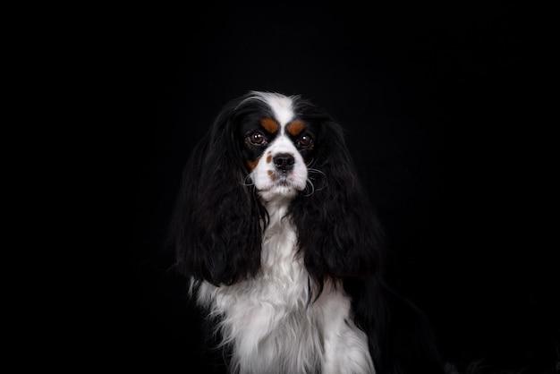 Cavalier king charles spaniel cachorro retrato em preto