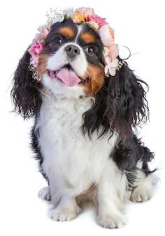 Cavalier king charles spaniel com coroa de flores rosa