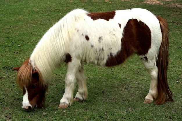 Cavalo anão em fazenda de animais