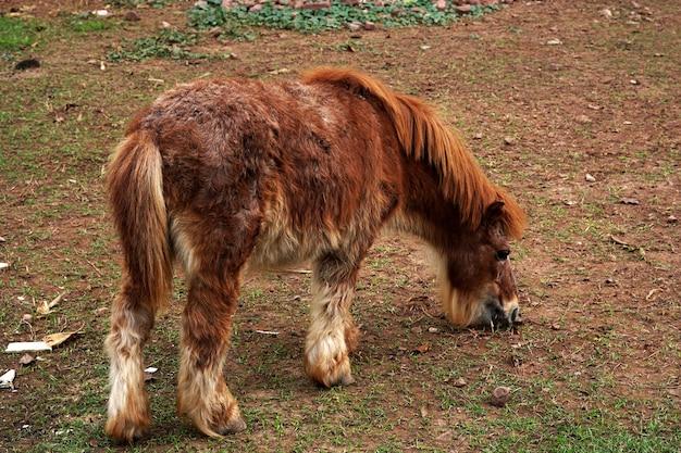 Cavalo anão marrom em fazenda de animais