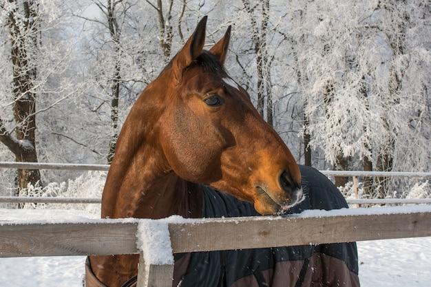 Cavalo andando no paddock de neve no inverno
