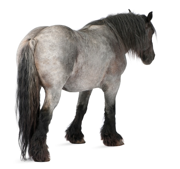 Cavalo belga, brabanãon, de pé no branco isolado