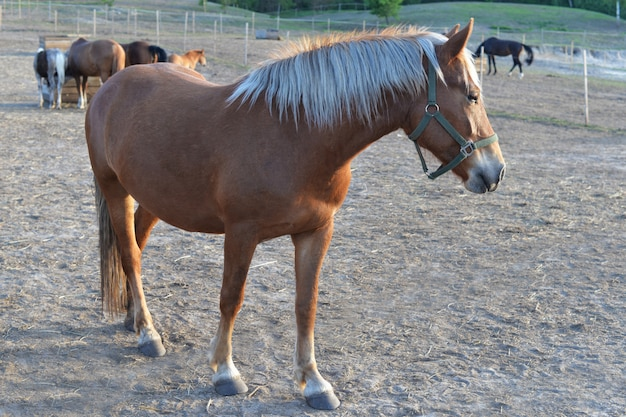 Cavalo bonito pônei marrom