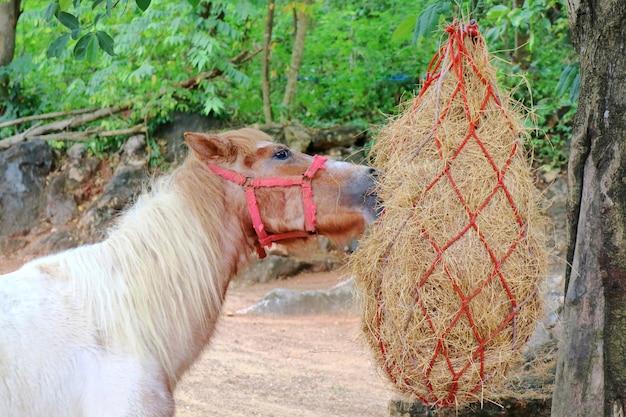 Cavalo branco e marrom que come o feno na exploração agrícola. conceito animal.
