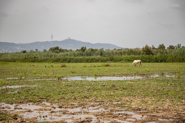 Cavalo branco em delta del llobregat, el prat, espanha