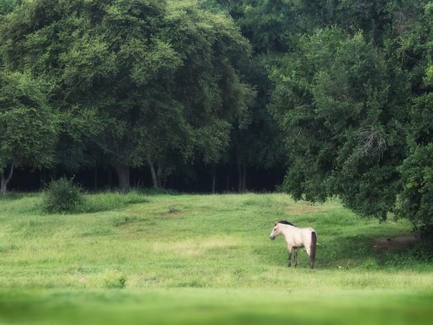 Cavalo branco na floresta verde no fundo, tiro tranquilo de um cavalo masculino branco no campo de grama verde.