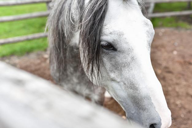Cavalo branco no estábulo