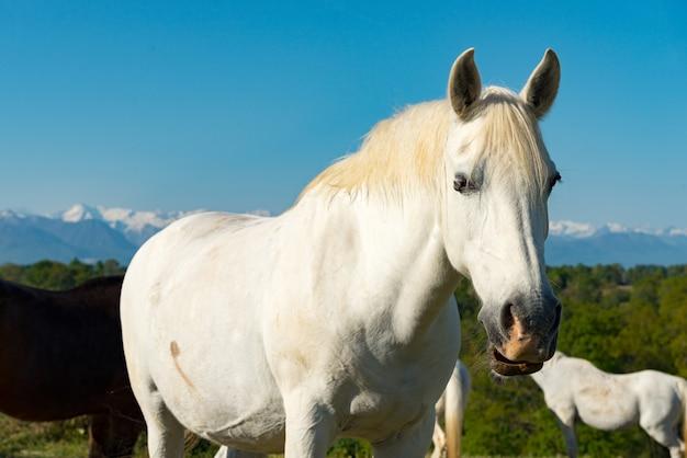 Cavalo branco no prado