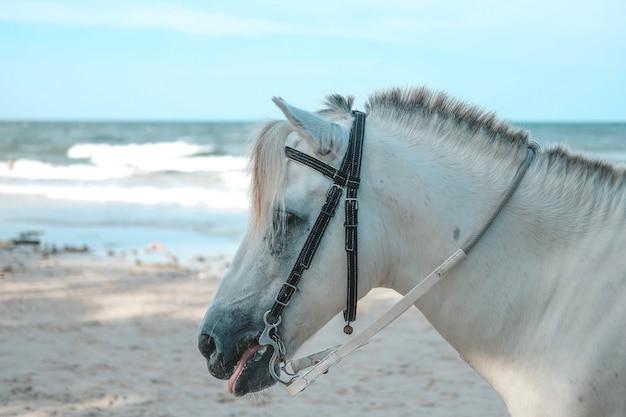 Cavalo branco para o serviço de turista na praia de hua hin, prachuap khiri khan, tailândia.