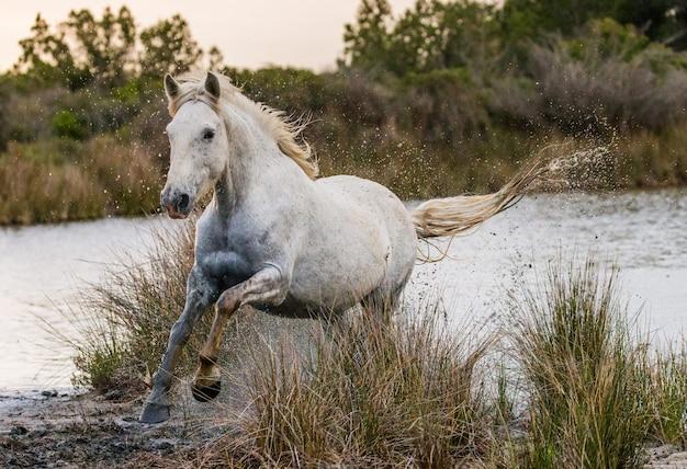 Cavalo camargue está correndo lindamente ao longo da água na lagoa